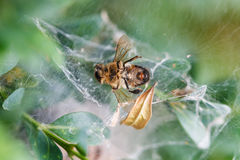 Dead bee in the web close up Royalty Free Stock Photography