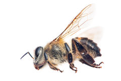 Dead bee Stock Photo
