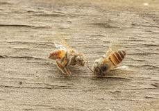 Dead bee on wooden background. Stock Image