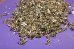 Dead bees in the apiary. For medicine needs and art projects stock images