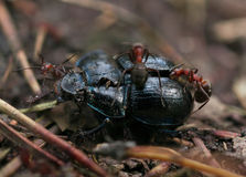 Dead Beetle With Ants Stock Image