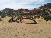 Dead, bent over Joshua tree with stacked boulder hills  in background. Dead, bent over Joshua tree with stacked boulder hills  in the background in Joshua Tree Royalty Free Stock Image