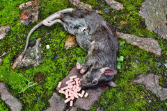 Dead big rat and spilled  pellets of poison Royalty Free Stock Images