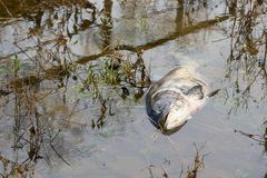 Dead bighead carp in a tributary of the Elbe near Magdeburg royalty free stock image
