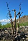 Dead birch Stock Photos