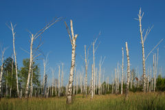 Dead birch grove Stock Photography