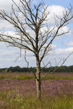Dead birch tree - moor Stock Photos