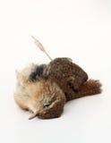 Dead bird. Very cute little dead bird, on white Stock Photos