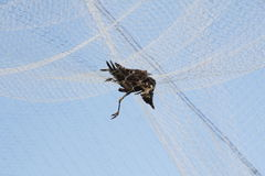 Dead Bird and Berry Netting Royalty Free Stock Image