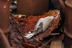 Dead bird collared dove lying between the  barrels of  toxic ch Stock Photos
