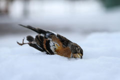Dead bird due to the harsh cold winter Stock Photos