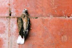 Dead bird on the floor, Bird Flu in asia Stock Images