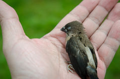 Dead  bird in hand Stock Photography