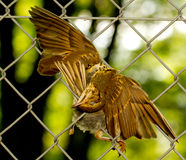 A dead bird is hanging. In a metal fence Royalty Free Stock Photos