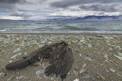 Dead bird on the lake, cast ashore Stock Photography