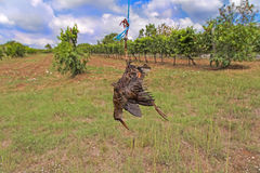 Dead bird like scarecrow. In the vineyard Stock Photography