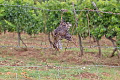 Dead bird like scarecrow. In the vineyard Royalty Free Stock Images