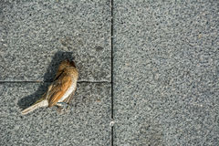 Dead bird. The little bird dead on the pavement Stock Photos