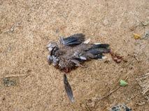 Dead Bird Royalty Free Stock Photo