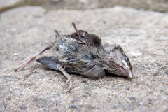 Dead bird Royalty Free Stock Photo