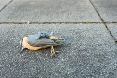 Dead bird nuthatch Stock Images