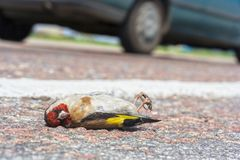 Dead bird on road. Dead bird on the road - danger in traffic - animals need protection Stock Photo