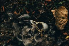 Dead bird skull lying in the grass with fallen leaves Stock Photo