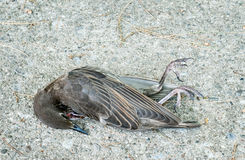 Dead Bird Royalty Free Stock Images