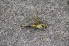Dead Black-headed Skimmer Dragonfly Stock Photos