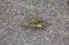 Dead Black-headed Skimmer Dragonfly Stock Photos