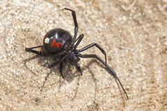 Dead black widow. Black widow spider on log Stock Image