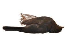 Dead blackbird female. Isolated on white Stock Photo
