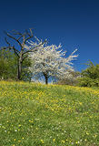 Dead and blossoming pear tree on a hill crest Royalty Free Stock Image
