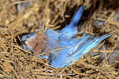 Dead Blue Bird. A dead blue bird lying on the ground in pine straw. He flew into a window and broke his neck stock photography