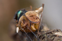 A dead blue bottle fly and a spider with web Stock Image