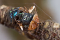 A dead blue bottle fly and a spider with web Royalty Free Stock Photos