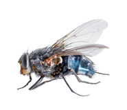 Dead blue fly Stock Photography
