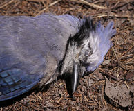 Dead Blue Jay Face Royalty Free Stock Image