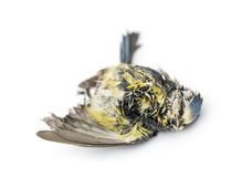 Dead Blue tit lying on the back, in state of decomposition. Cyanistes caeruleus, isolated on white Stock Photos