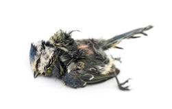 Dead Blue tit lying on the back, in state of decomposition. Cyanistes caeruleus, isolated on white Stock Images