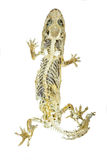 Dead body of lizard on white background Stock Photography