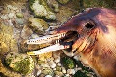 Dead Bottlenose dolphin. Royalty Free Stock Image