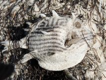 Dead Box Fish. Round spiny dead Box fish on the beach Royalty Free Stock Image