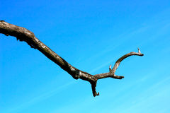 Dead Branch. Against the vivid clear blue sky Stock Photography