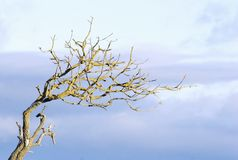 Dead Branch. In late afternoon Royalty Free Stock Image