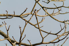 Dead branch blue sky Royalty Free Stock Photo