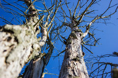 Dead branches on the blue sky. Royalty Free Stock Photos