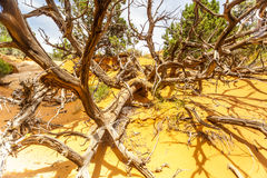 Dead branches at desert landscape in Utah Stock Image