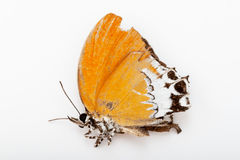 Dead branded imperial butterfly Royalty Free Stock Photography