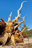 Dead Bristlecone Pine Royalty Free Stock Photos